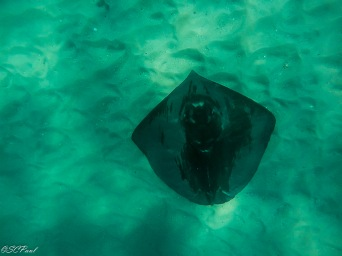 a huge stingray we saw while snorkeling